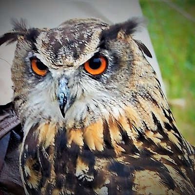 Close up of an Eagle Owl.