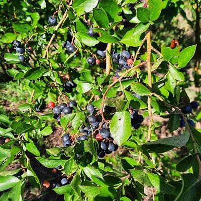 Walden Berries