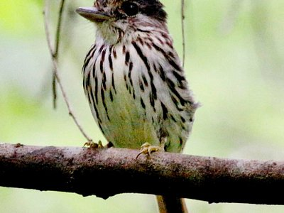 Samson Birding Tours