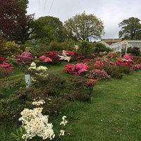 Evergreen Azaleas collection in front of the  Victorian Greenhouse of the old Leonardslee Estate's  Market Garden