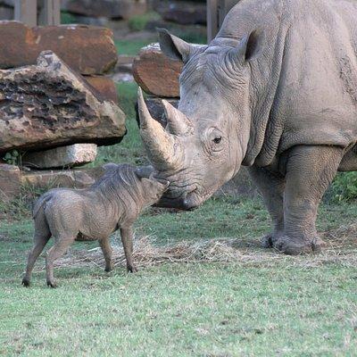 A warthog and white rhino meet at the Mary K. Chapman Rhino Reserve.