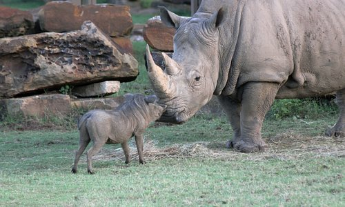 A warthog and white rhino meet at the Mary K. Chapman Rhino Reserve.
