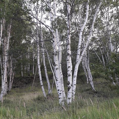 At higher elevations, the road passes through typical birch groves like this one.