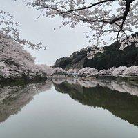 ダムを縁取るように広がる桜並木。水面に映った桜は絶景です。