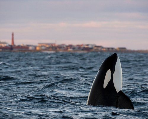 Spyhopping Orca, off Andenes