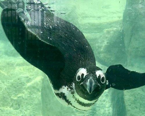 Pistachio, African Penguin