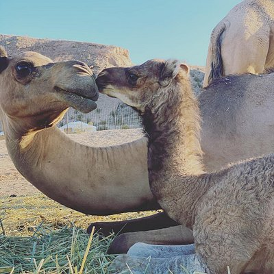 Enjoy baby camels and watch them play with the rest of the herd!