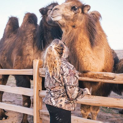 CannaCamels is home to over 30 camels that are eager to meet you!