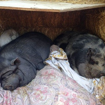 So Tired...Piggies resting
