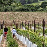 A walk through the grapevines