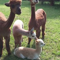 Alpaca Mama's Rosie and Raelyn invite you to come visit Alpaca Acres and meet their new cria (babies) Maverick and Maebelyne.