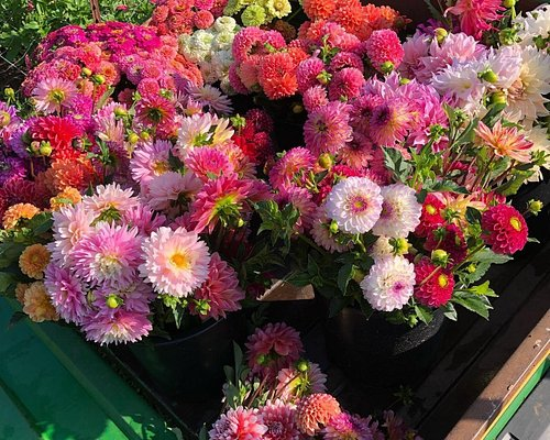 Dahlia season is August-October. We have over 50 varieties and 3,000 dahlias in our field!