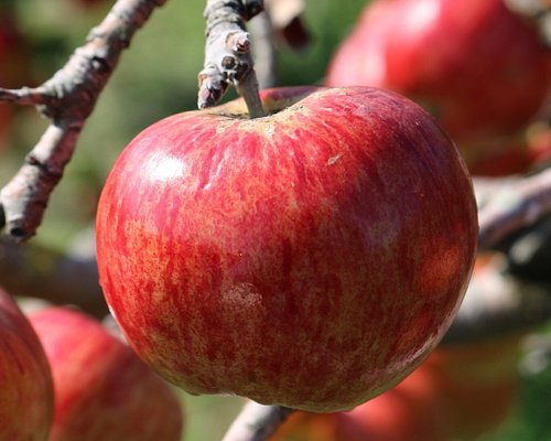Apple picking, great fun for the family and the apples are very tasty. Something off the beaten track. The apples are ones found in a certain Disney movie.