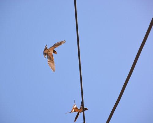 Barn Swallows near Aghia Irini Church - 02