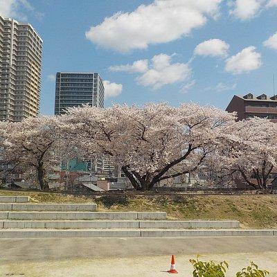 草津川跡地公園(区間5)、桜