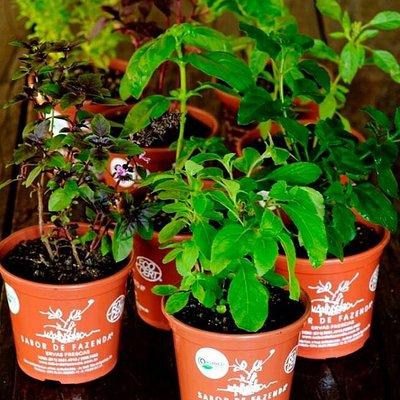 Mudas orgânicas de ervas e temperos