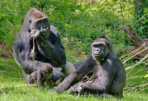 Gorillafamilie im Tiergarten Nürnberg