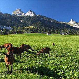 La Chèvrerie (Leysin - canton de Vaud - Suisse)