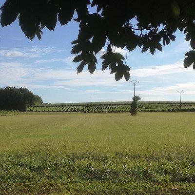 Vue des vignes à l'entrée du domaine de Beaulieu.