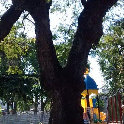 Àrbol de Artigas de Plaza 25 de Agosto: Barrio Villa Ortùzar, Ciudad de Buenos Aires- Argentina 2020.