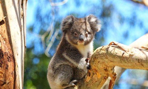 Koala in the treetops at Wildlife Wonders