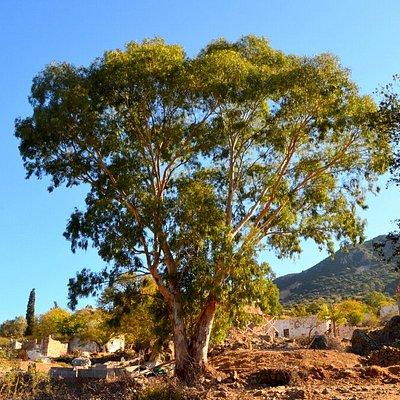 Yalıkavak Sandima Türkmen köyünde tarihi ağaç