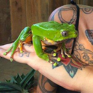 Kambo Frog natural medicine. Phillomedusa bicolor
