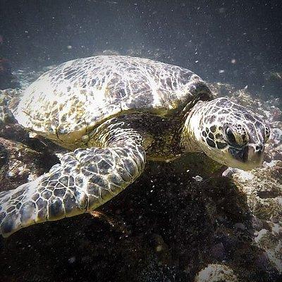 Green Sea Turtle @ Mekena Landing In Kihei, HA