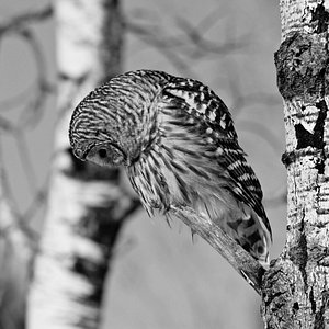 Barred Owl looking for dinner in northern Minnesota.