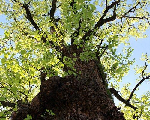Tulipeiro da Virgínia, monumento natural dos Jardins do Museu dos Biscainhos. Árvore candidata a Árvore do Ano 2020  https://portugal.treeoftheyear.eu/Vote