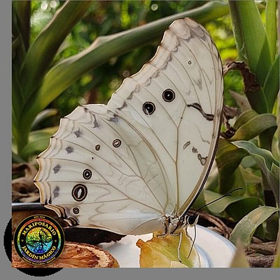 A beautiful and magnificent White Morpho