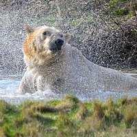 Polar Bears making a splash