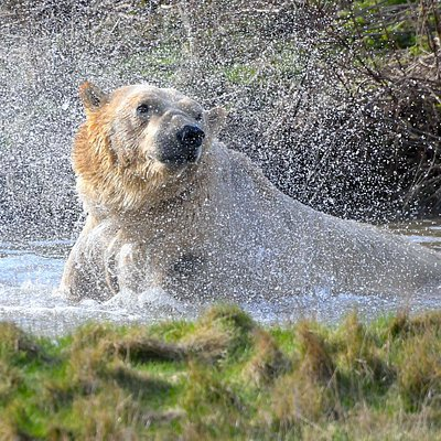 Polar Bears making a splash