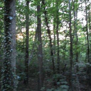 Tät ädellövskog