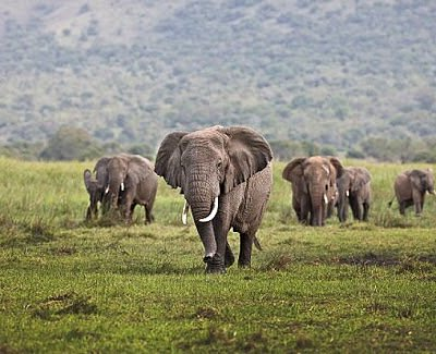 Elephants in Akagera National Park, a tour by Universal Ventures Rwanda