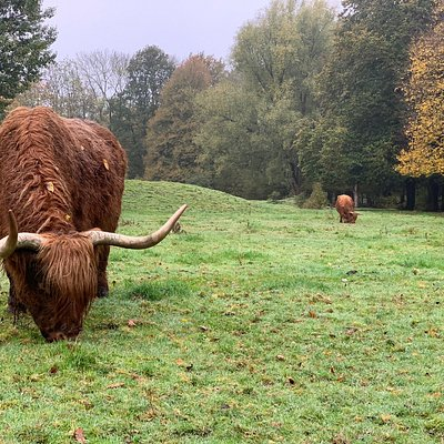 Highland cattle in park