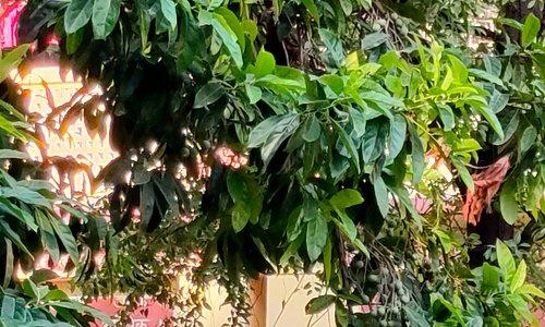 Rudraksh Tree at Swarg Ashram
