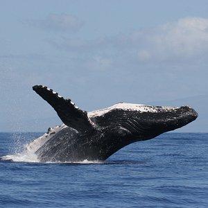 Hawaiian Islands Humpback Whale National Marine Sanctuary's namesake species draws visitors from around the globe to sanctuary waters.