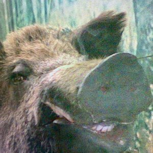 Taxidermy of the Israeli wild boar pig: I met a wild one on a pre dawn hike once- very scary and oogly- boogly