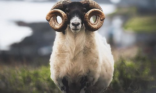 """""""Do you like my new 'do?"""" 🐏  #FillYourHeartWithIreland  📍 Inishbofin, County Galway  📸  instagram.com/briaincolemaan/"""
