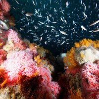 Cordell Bank National Marine Sanctuary boasts some of the most beautiful reefs off the West Coast.