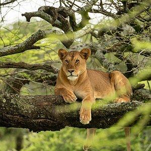 Tarangire National Park   Climbing Lion