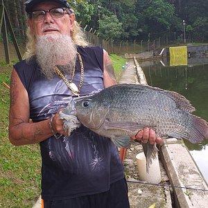 Tilapia gigante pesqueiro cantareira