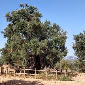 Olovera Lo Parot is a monumental live tree located in the surroundings of Horta de Sant Joan, a tiny town in Tarragona Region.l