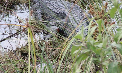 A nearly seven foot gator suns at the edge of one of the Tract's ponds.