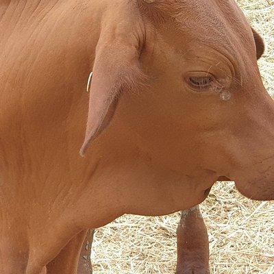 Euri Gold Farms Bowen Mangoes Cattle n Emus n Kangaroo