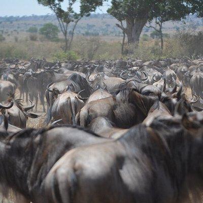 Wildebeest Migration at serengeti