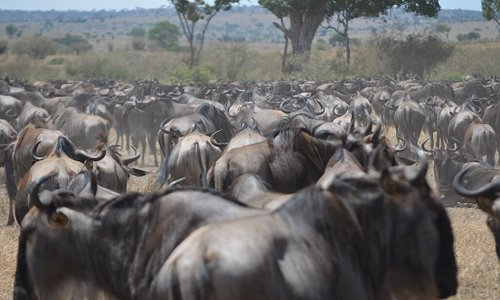 Wildebeest Migration at serengeti