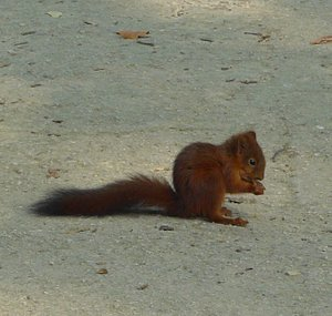 Uccle, Wolvendael Park, red squirrel