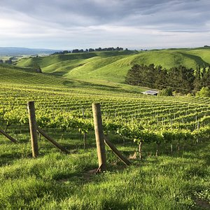 Evening light over Lime Rock Wines. 270m above sea level we have extensive 360 degree views over the plains and Ruahine Ranges. We take you on a free vineyard trip to see all this.